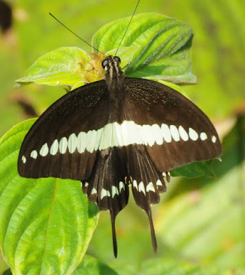 Banded Swallowtail (Papilio demolion)