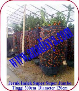 harga pohon jeruk imlek