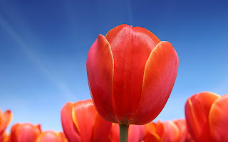 tulipanes wallpapers