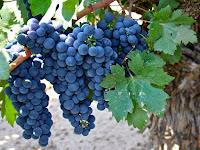 Zinfandel Grapes Fruit Pictures