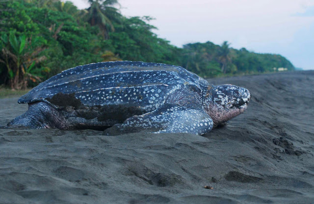Leatherback sea turtle pictures in the water - photo#4