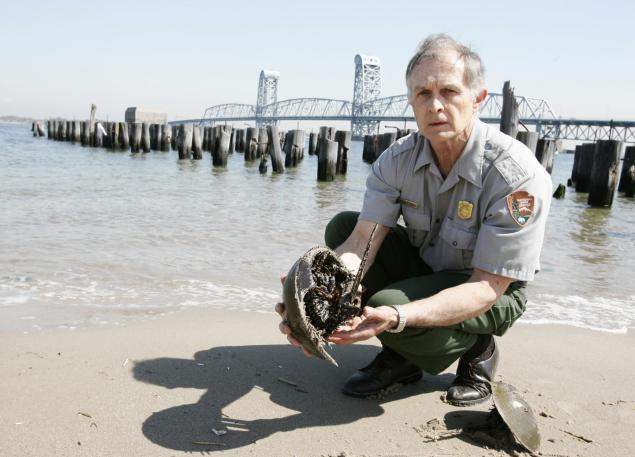 Marinebiologist dr george frame holds a horseshoe crab which is