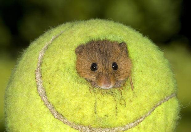 Usado las pelotas de tennis de Wimbledon para hacer diminutas casas para ratones