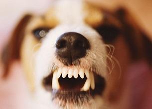 Hung dữ. Khi chó hung dữ, nó thường là bởi vì chúng sợ hay lo lắng. Nếu con chó của bạn thật sự hung dữ, làm việc với một huấn luyện viên chuyên nghiệp hoặc bác sĩ thú y của bạn. Không bao giờ để một con chó hung dữ một mình với trẻ em hoặc người lạ, ngay cả khi bạn nghĩ rằng chúng không có khả năng làm tổn thương bất cứ ai. Rọ mõm chúng ở những nơi công cộng, nếu cần thiết.
