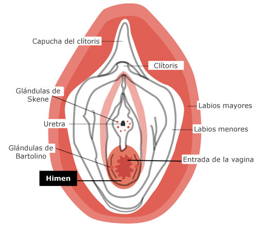 http://1.bp.blogspot.com/-tzCo-fdF7Zk/TdGAjhefTLI/AAAAAAAAC4Q/hkzw_CChk3E/s1600/himen-corona-vaginal.jpg