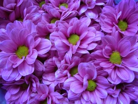 koleksi tanaman hias bunga seruni atau krisant