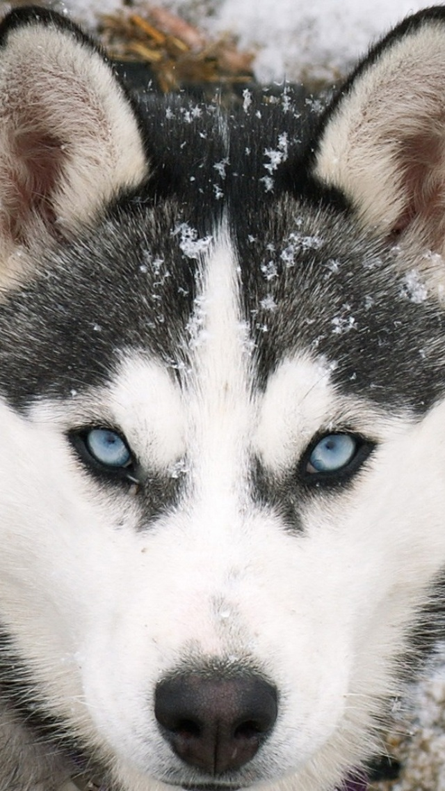 HD Siberian Wolf Wallpapers For IPhone 5