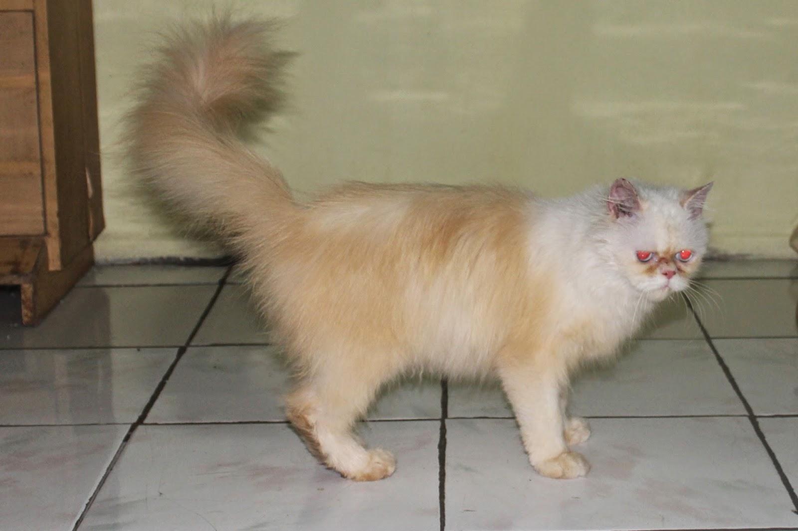 Harga Kucing Peaknose Turun Segitu Petshop
