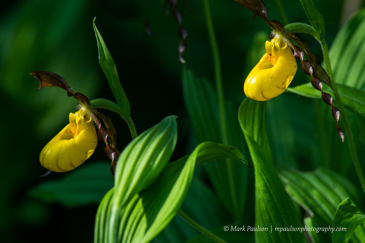 Map Artistic Photography Photo Of The Day Yellow Lady Slipper