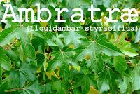 http://kolonihavelivet.blogspot.dk/2015/11/ambra-tr-liquidambar-styraciflua.html