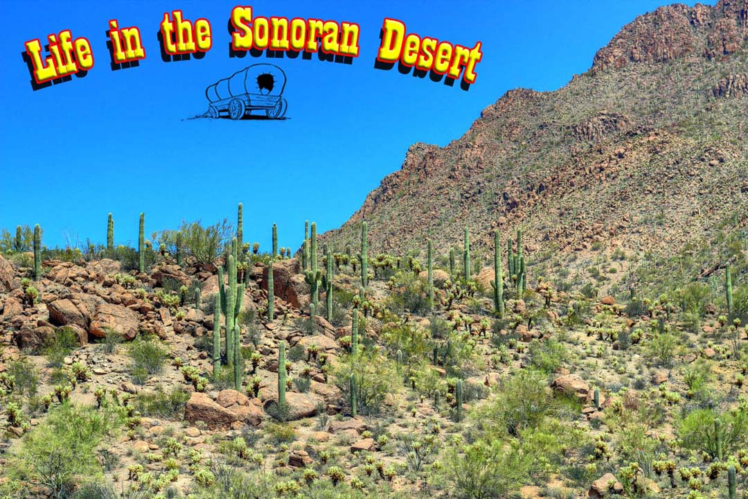 Life in the Sonoran Desert