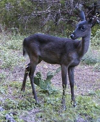 Melanistic Whitetail Deer Texas Cryptid H...