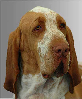 Bracco Italiano Pictures