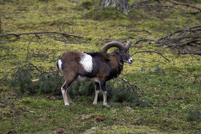 mouflon in a forest