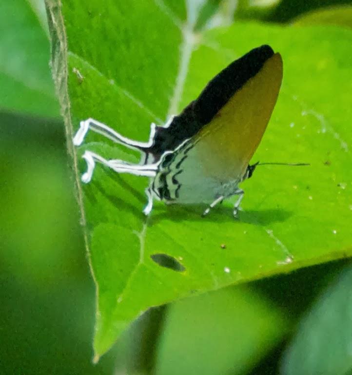 Common Imperial (Cheritra freja)