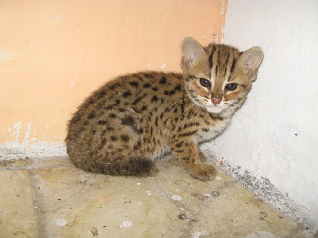 baby-kucing-hutan-belacan-0.jpg