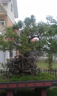 cây kiểng