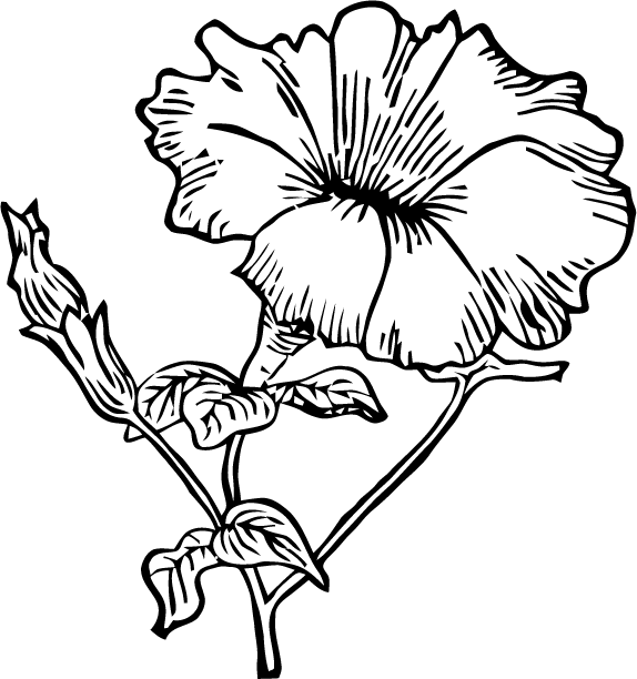 Petunia flower drawing