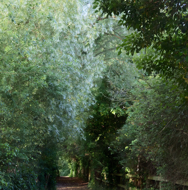 Tunnel like path beneath trees with large blue green willow dominant