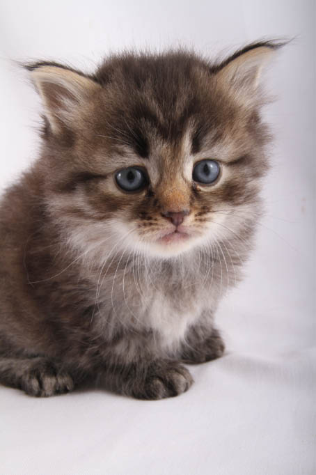 Alexandrite Siberians: Memphis Kitten - Brown Tabby Girl