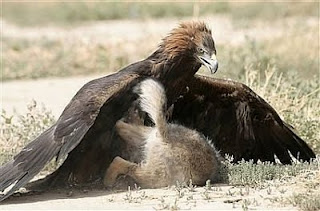 Beauty Full Animals Wallpapers And Animals PicsGolden Eagle Hunting Wallpaper