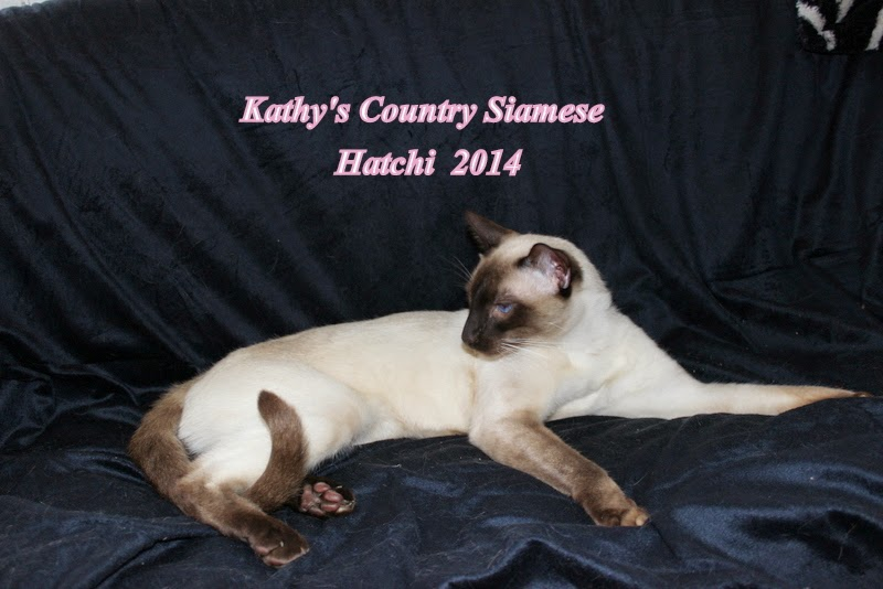 Hatchi is sire  to kittens posted this month.