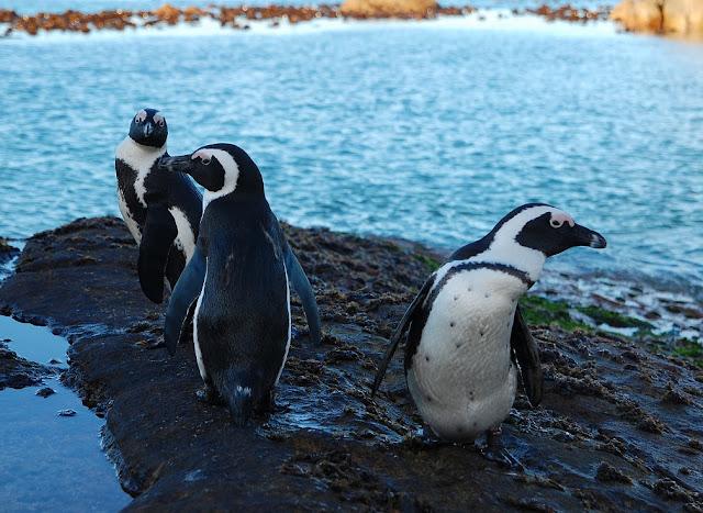 Pingüino africano o del cabo  (Spheniscus demersus)