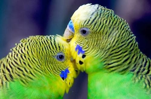 fotos animais adoráveis fofos se beijando beijo romântico Periquitos-australianos ou periquitos-comuns