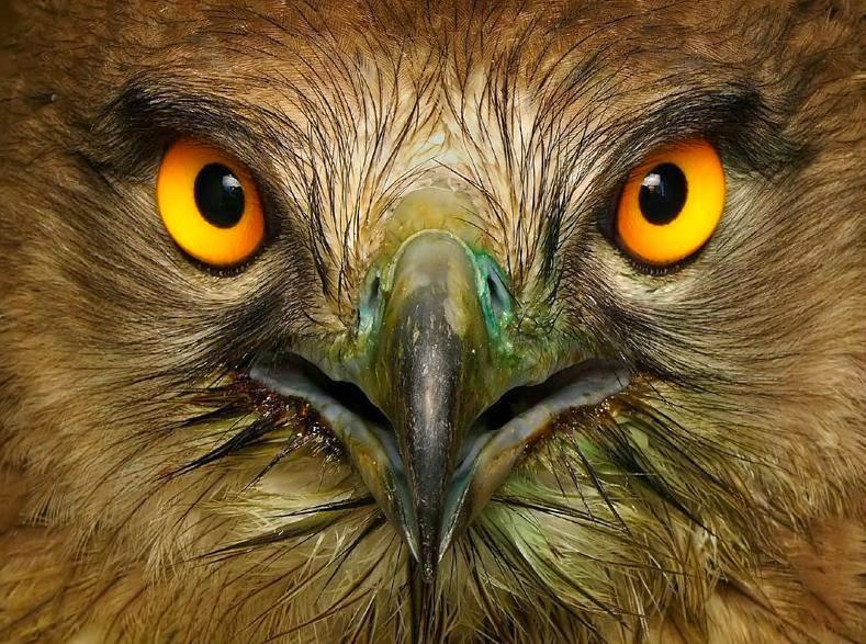 La Penetrante Mirada del Águila Culebrera
