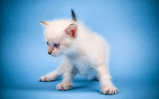 free hd images of cute mew mew cat for laptop