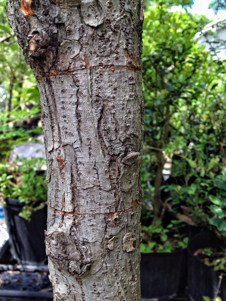 Chowa zoutleeuw hoe en wat van marcoteren - Hoe een boom te verlichten ...