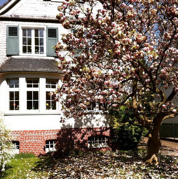 Magnolienbaum Leichlingen Spring Fruehling