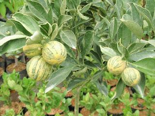 pohon-jeruk-sunkist-variegata.jpg