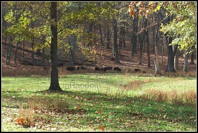 Bison in Missouri