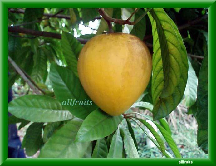 egg fruit canistel fruit images