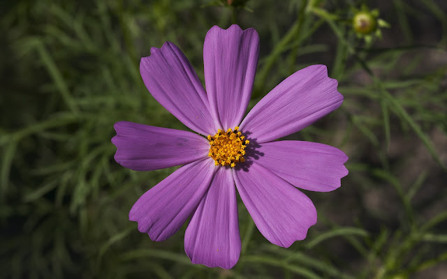 aster flower wallpaper