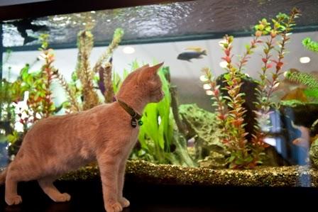 Mèo ngắm hồ thủy sinh