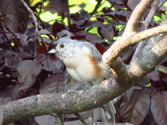 tufted titmouse looking around