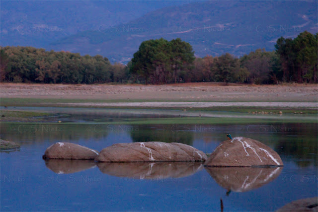 Río Tiétar al amanecer con Martín pescador. Cola del embalse de Rosarito