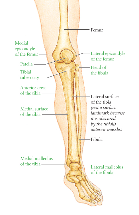 Human Anatomy For The Artist Anterior Leg Part 1 The Supporting Cast