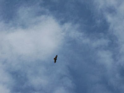 hawk against a cloudy sky