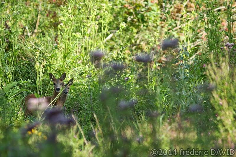 animaux cervidés biche faon nature Fontenay-le-Vicomte Essonne