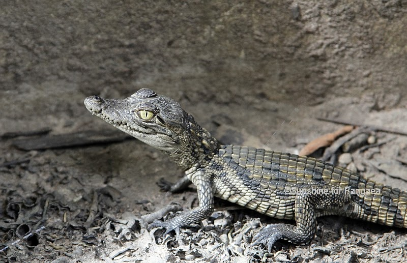 Dwarf Crocodile in Gambia