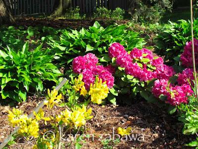 Azalea Lemon Lights, deep pink Rhododendons full bloom , hostas, BRG East Garden, Port Credit, ON.