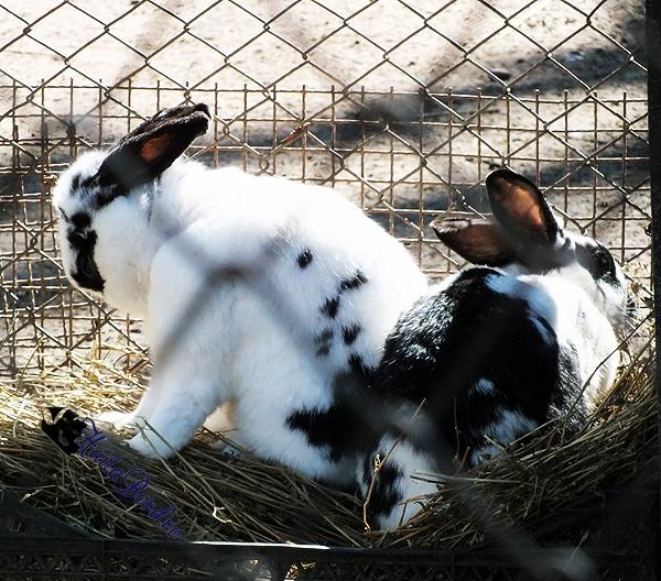 iepuri zoo braila