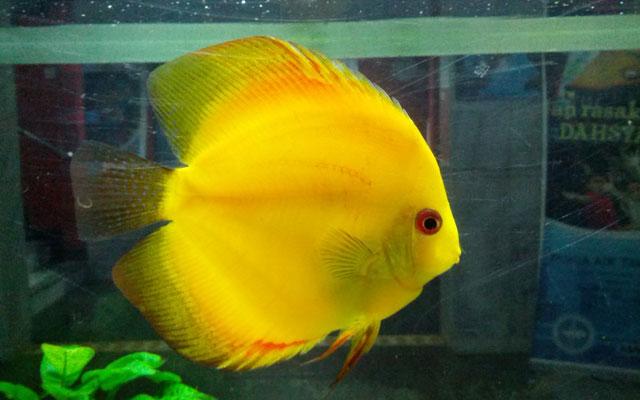 Gambar Ikan Diskus