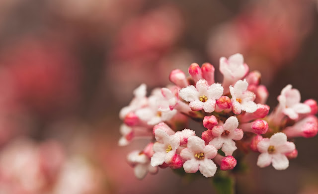 White Pink Flower Wallpaper