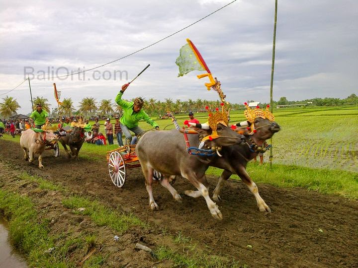 Makepung in Jembrana, buffalo racing in Bali Indonesia