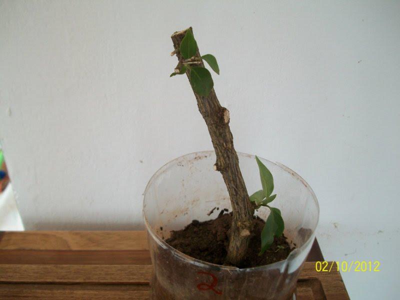 mini jardim em garrafas: Enterre os pedaços do galho cortado na garrafa pet conforme abaixo