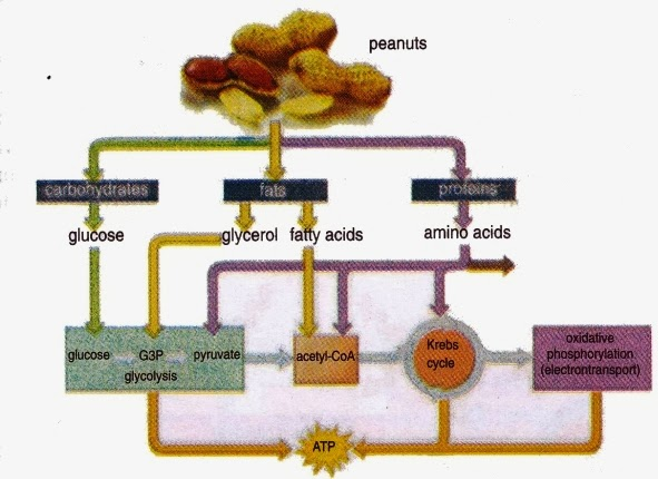 catabolism of carbohydrate, fat, and protein ~ new science biology  long fat protein carb diagram #45